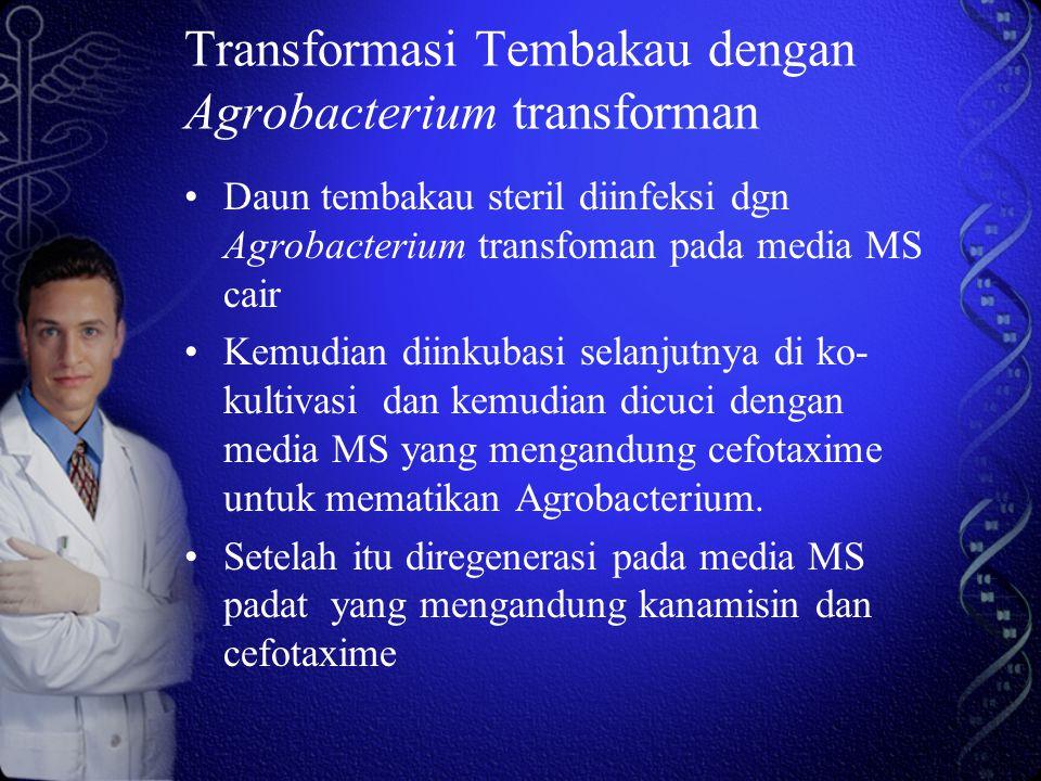 Transformasi Tembakau dengan Agrobacterium transforman Daun tembakau steril diinfeksi dgn Agrobacterium transfoman pada media MS cair Kemudian diinkubasi selanjutnya di ko- kultivasi dan kemudian dicuci dengan media MS yang mengandung cefotaxime untuk mematikan Agrobacterium.