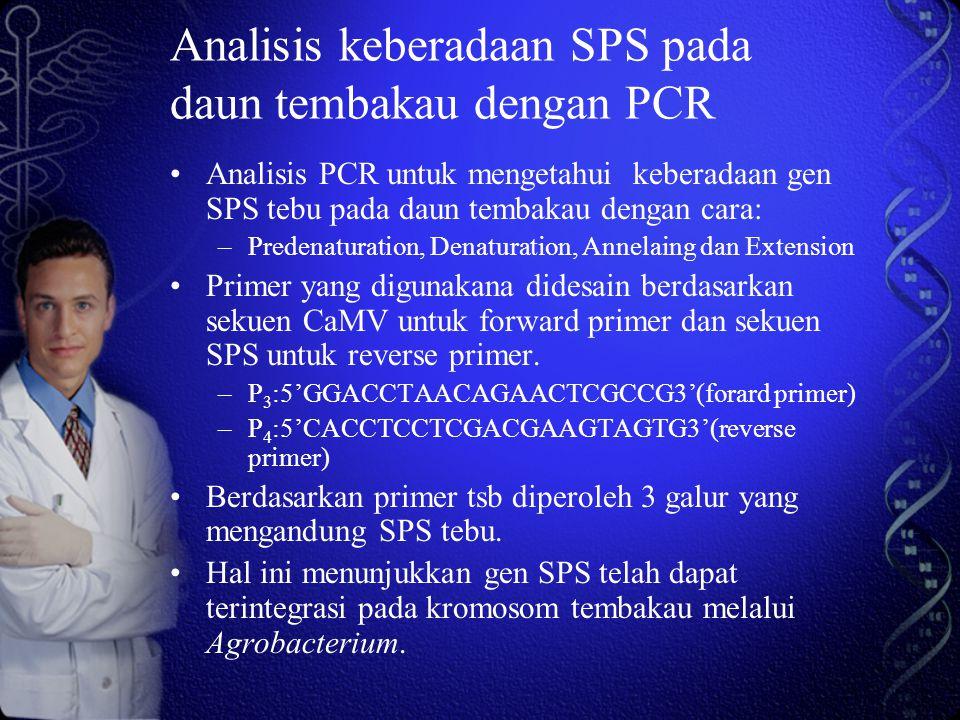 Analisis keberadaan SPS pada daun tembakau dengan PCR Analisis PCR untuk mengetahui keberadaan gen SPS tebu pada daun tembakau dengan cara: –Predenaturation, Denaturation, Annelaing dan Extension Primer yang digunakana didesain berdasarkan sekuen CaMV untuk forward primer dan sekuen SPS untuk reverse primer.