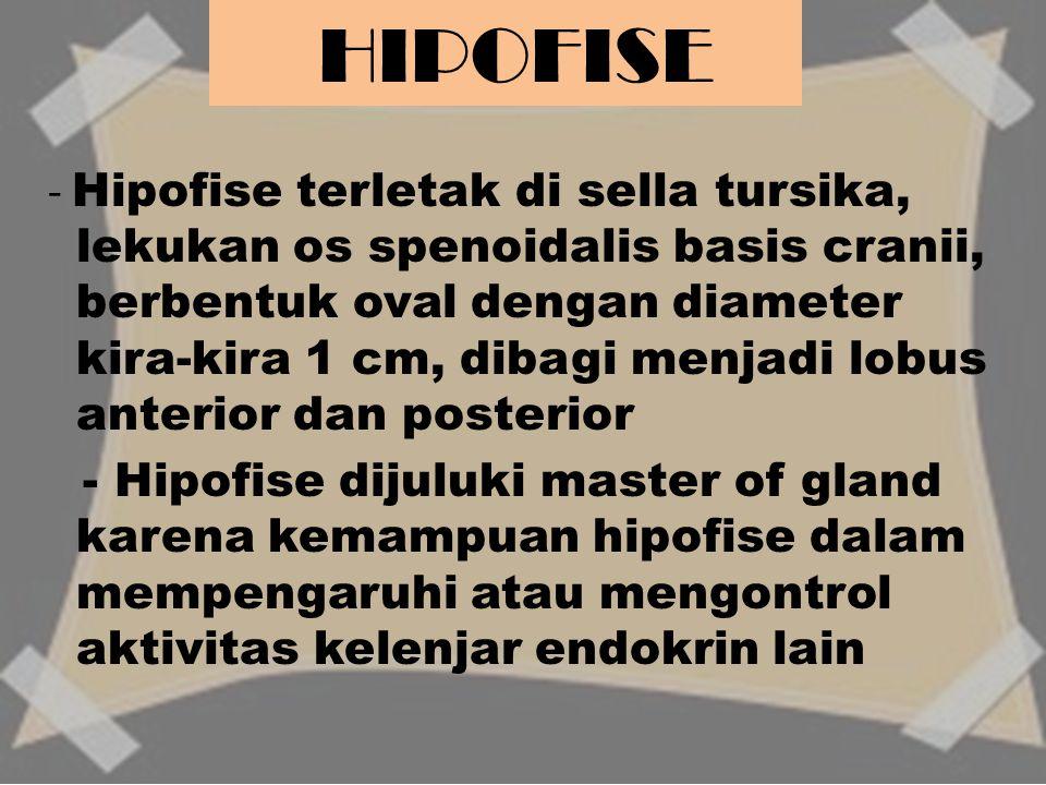 - Hipofise terletak di sella tursika, lekukan os spenoidalis basis cranii, berbentuk oval dengan diameter kira-kira 1 cm, dibagi menjadi lobus anterio