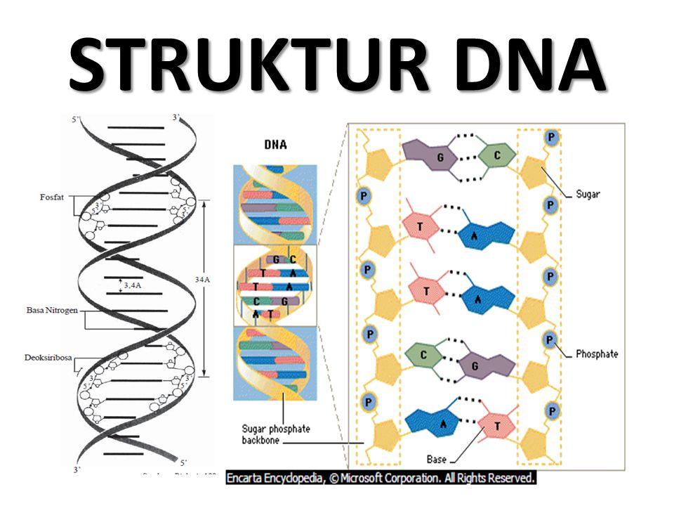 RNA Merupakan struktur hasil dari proses yang terjadi pada DNA.