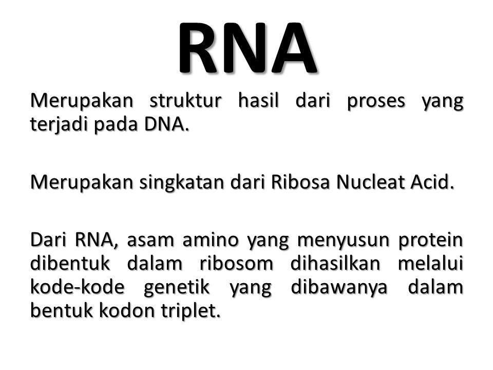 CIRI-CIRI RNA Rantai Pendek Rantai Pendek Rantai Tunggal Rantai Tunggal Terdapat 2 jenis basa : Terdapat 2 jenis basa : – Basa Purin: Adenin (A) dan Cytocin (C) – Basa Pirimidin: Urasil (U) dan Guanin (G) Terdapat 3 jenis RNA, yaitu : Terdapat 3 jenis RNA, yaitu : – RNA messenger atau RNA duta – RNA transfer – RNA ribosom
