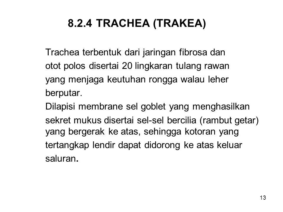 13 8.2.4TRACHEA (TRAKEA) Trachea terbentuk dari jaringan fibrosa dan otot polos disertai 20 lingkaran tulang rawan yang menjaga keutuhan rongga walau
