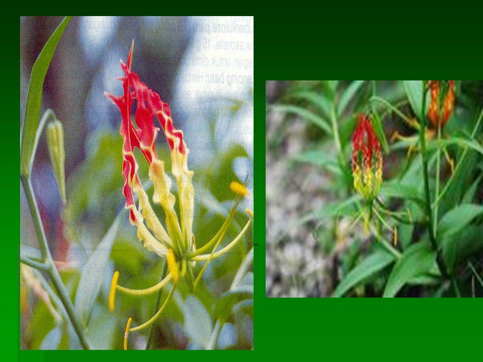 Bunga lili B. tasbih