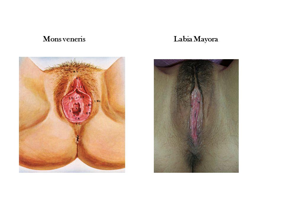  3) Labia Minora Bibir kecil yang merupakan lipatan bagian dalam bibir besar (labia mayora), tanpa rambut.