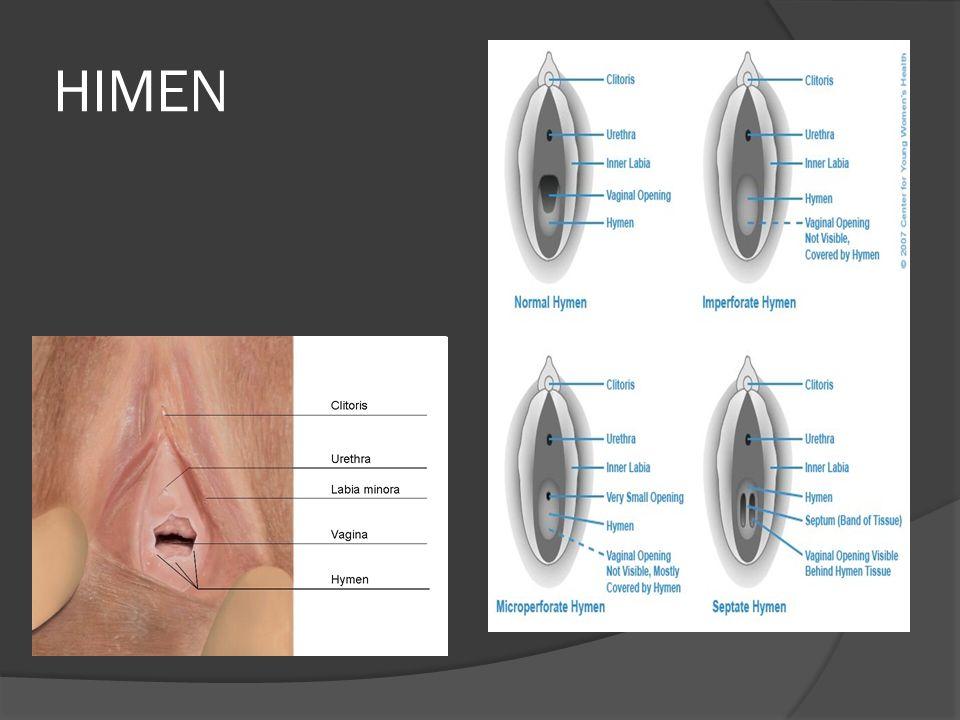  7) Perineum (kerampang) Terletak di antara vulva dan anus, panjangnya kurang lebih 4 cm.