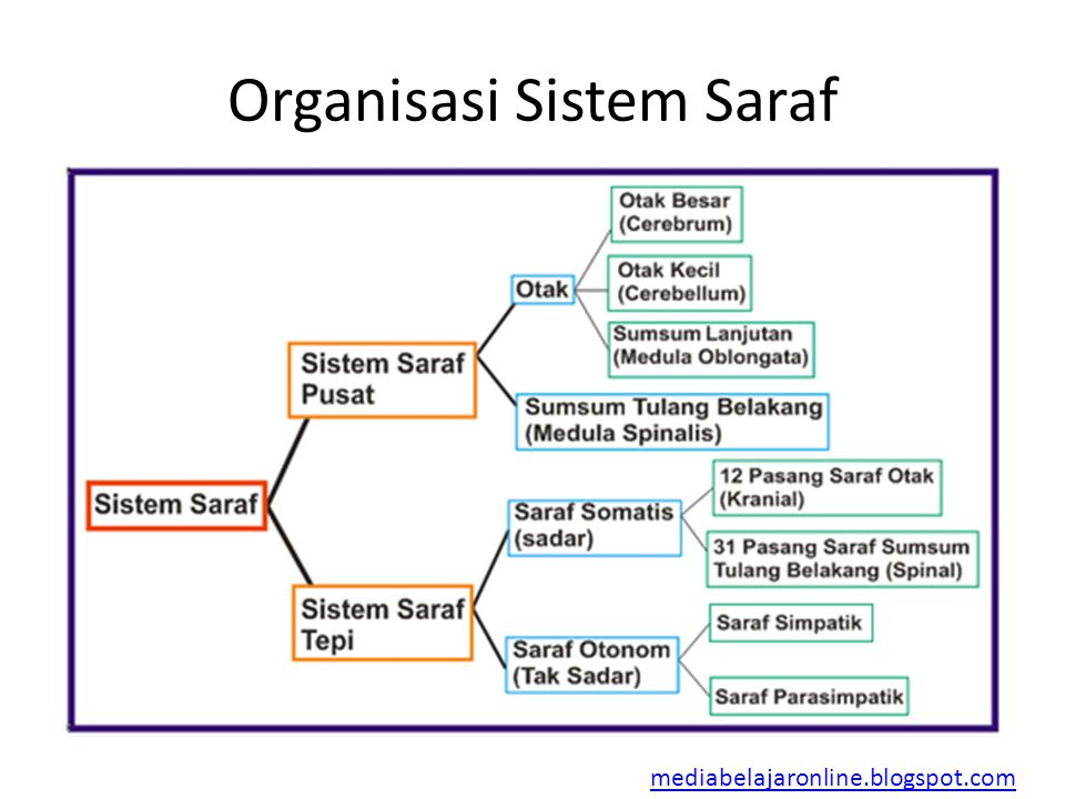 Organisasi Sistem Saraf mediabelajaronline.blogspot.com