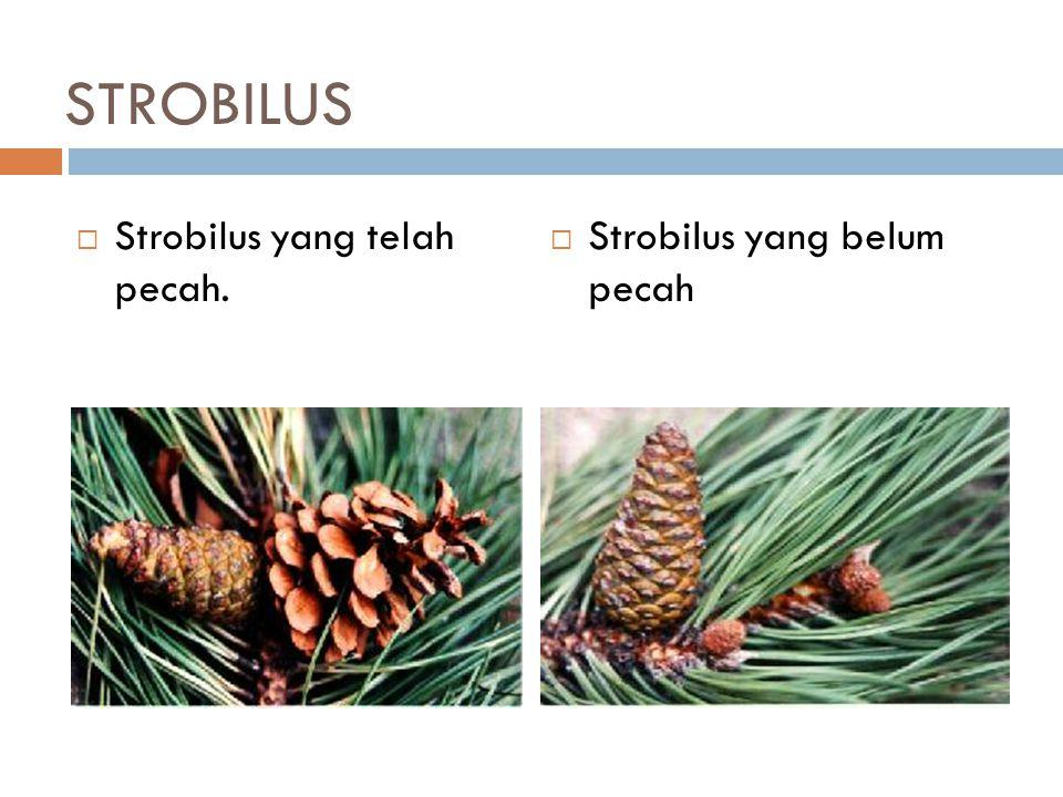 STROBILUS  Strobilus yang telah pecah.  Strobilus yang belum pecah