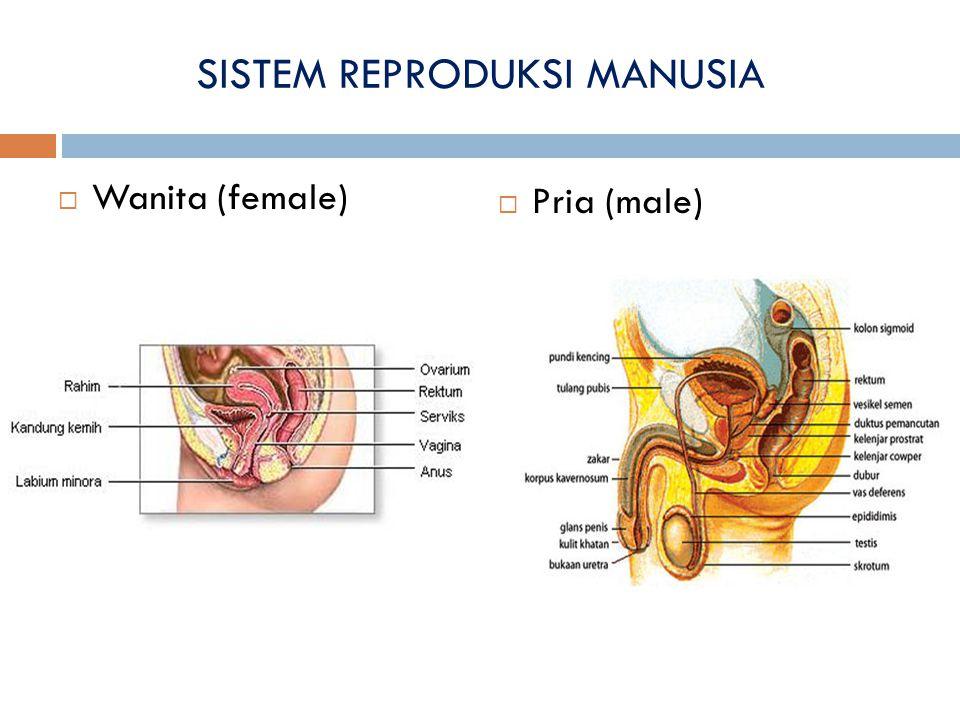 SISTEM REPRODUKSI MANUSIA  Wanita (female)  Pria (male)