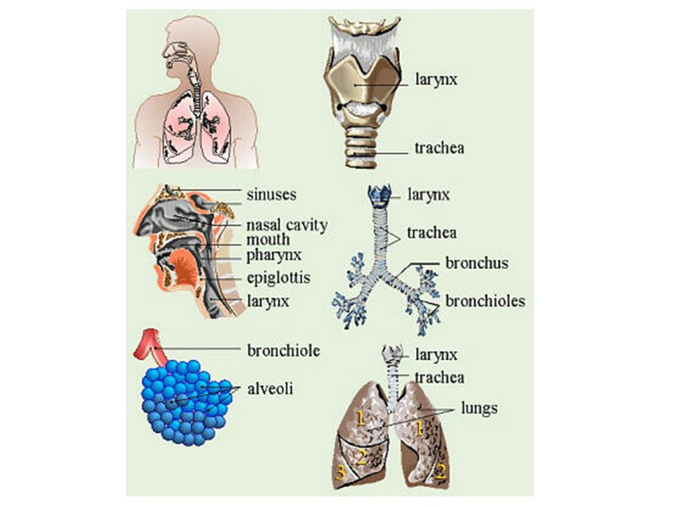 Syarat tersebut dapat dicapai karena proses pemanasan dan pelembaban sejak udara masuk melalui hidung, sepanjang saluran pernapasan sampai terjadinya pertukaran gas dalam alveoli.