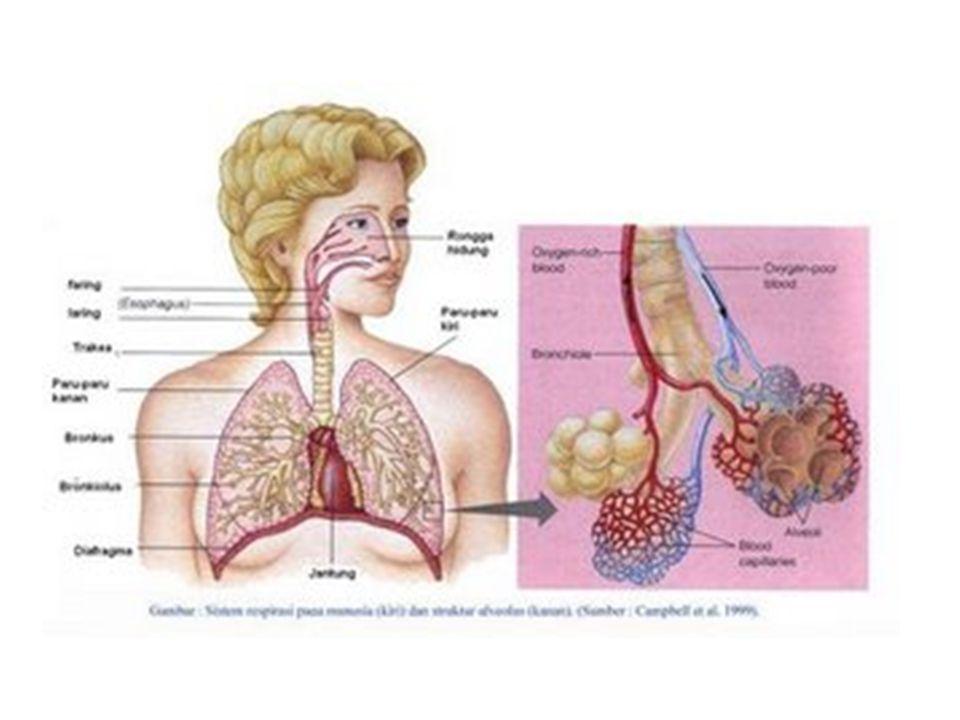 Mekanika ventilasi paru-paru Ventilasi paru-paru adalah gerak pernapasan yang menukar udara dalam alveoli dengan udara luar.