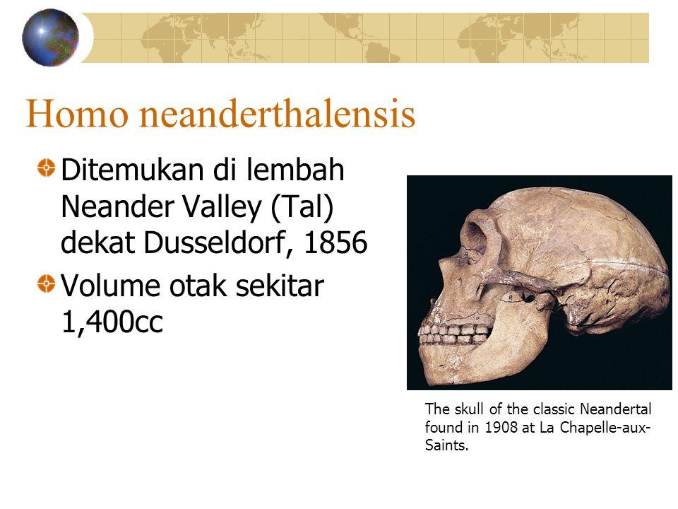 Homo neanderthalensis Ditemukan di lembah Neander Valley (Tal) dekat Dusseldorf, 1856 Volume otak sekitar 1,400cc The skull of the classic Neandertal found in 1908 at La Chapelle-aux- Saints.