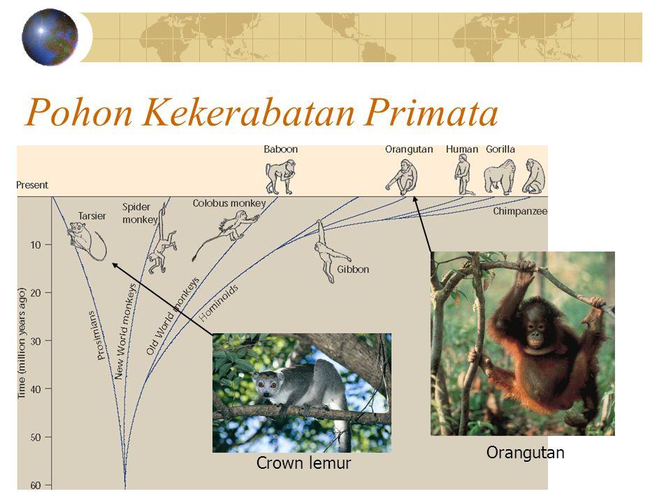 Pohon Kekerabatan Primata Crown lemur Orangutan