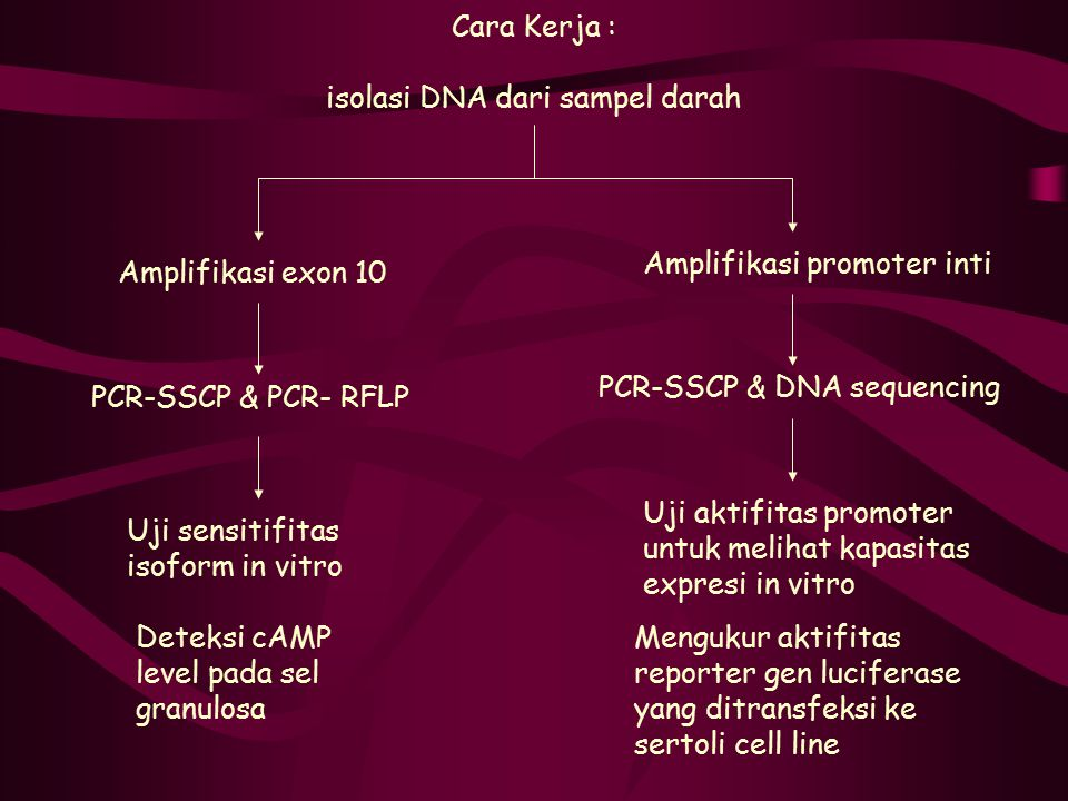 Cara Kerja : isolasi DNA dari sampel darah Amplifikasi exon 10 Amplifikasi promoter inti PCR-SSCP & PCR- RFLP PCR-SSCP & DNA sequencing Uji sensitifit