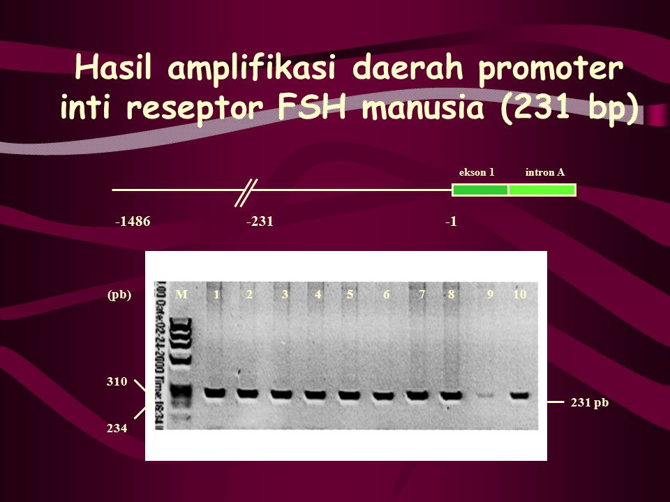 Hasil amplifikasi daerah promoter inti reseptor FSH manusia (231 bp) -1486 -231 -1 231 pb 310 234 (pb) M 1 2 3 4 5 6 7 8 9 10 ekson 1 intron A