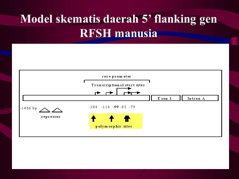 Sel granulosa ovarium (dicuci dengan Hank's basic salt solution)  Dikultur pada media standart RPMI + serum, 24 jam Stimulasi FSH, 15 menit Freeze -20  C, 30 menit Lisis sel dengan deterjen Triton X-100 Pisahkan & ukur cAMP dengan khromatografi pertukaran ion