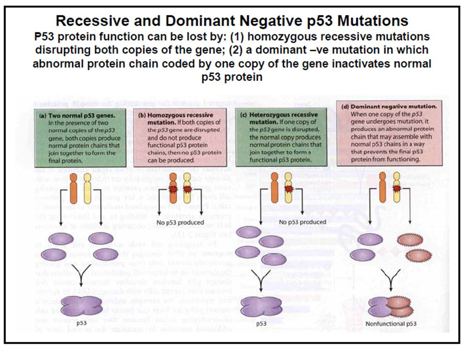 the history role and function of the p53 gene Numerous p53-dependent target genes have been identified that play a role as downstream effectors of each p53 function for example, the cyclin dependent kinase inhibitor p21 waf1/cip1 is a direct p53 target and deletion of this gene significantly reduces the cell cycle arrest response to p53.
