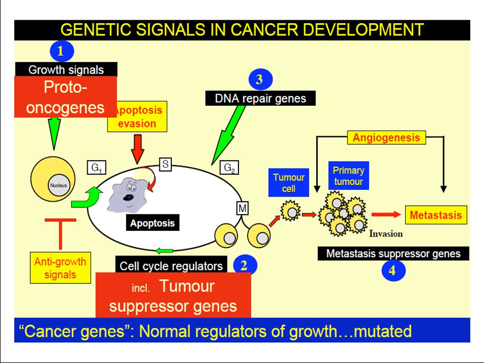  Gen normal yang menghambat pembelahan sel  Mekanisme kerja : sinyal transduksi, reseptor di permukaan sel dan nuclear trnascriptions regulator  Recessive  Butuh 2 hit  pRb : mencegah sel di G1 menjadi S  p53 : stop replikasi sel yang rusak (DNA damage)