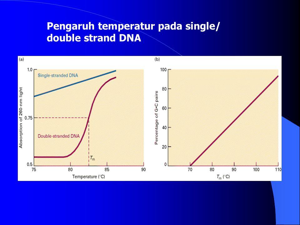 Perubahan DNA dari double strand menjadi single strand Denaturasi Renaturasi