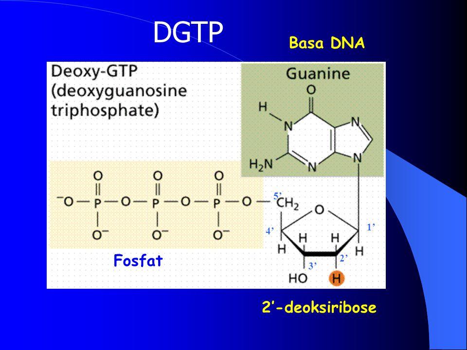 STRUKTUR DNA DNA terbentuk dari NUKLEOTIDA Double strand, komplementer, arah pembacaan yg berlawanan Satu NUKLEOTIDA terdiri dari fosfat, gula deoksir