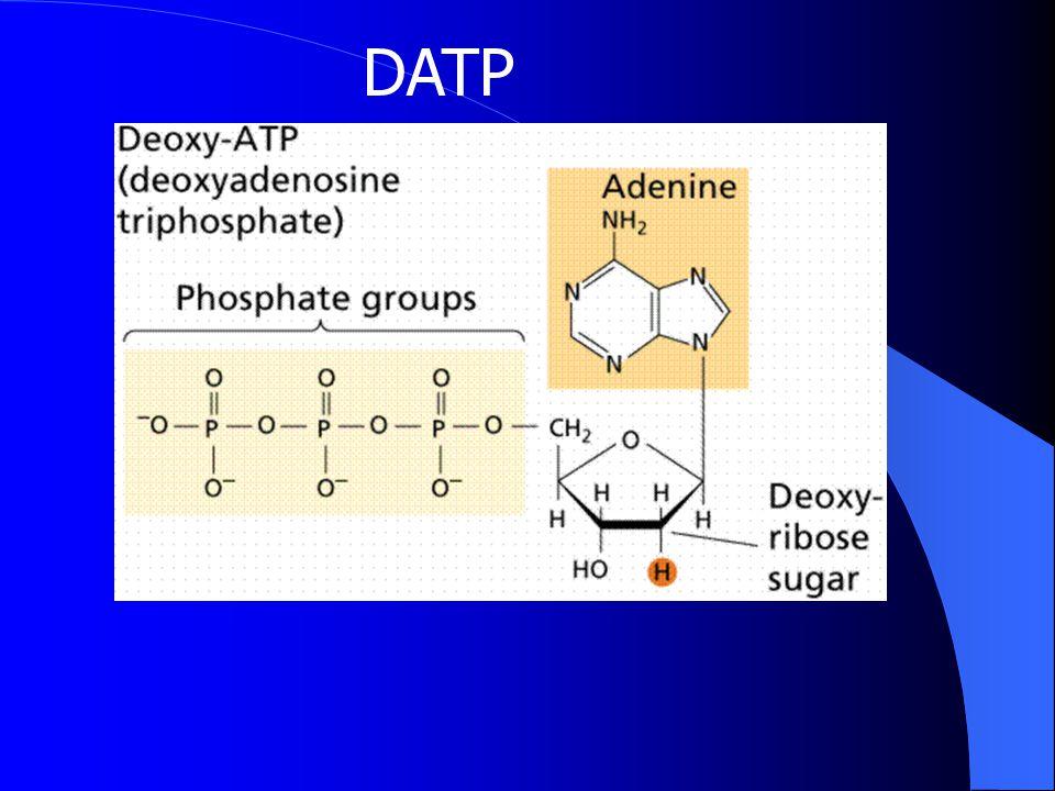 Basa DNA 2'-deoksiribose Fosfat 1' 2' 5' 4' 3' DGTP