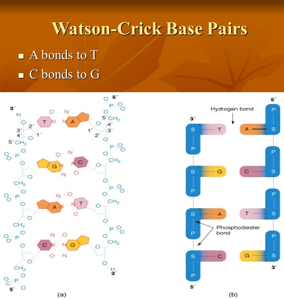 Watson-Crick Base Pairs A bonds to T A bonds to T C bonds to G C bonds to G