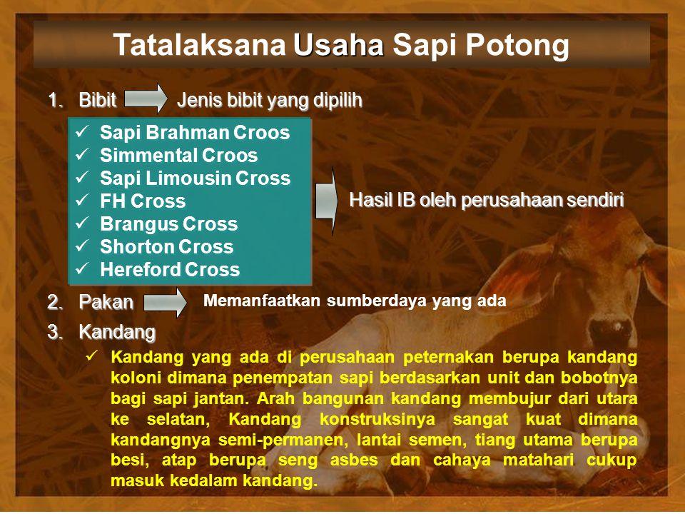 Usaha Tatalaksana Usaha Sapi Potong 1. Bibit 2. Pakan Sapi Brahman Croos Simmental Croos Sapi Limousin Cross FH Cross Brangus Cross Shorton Cross Here