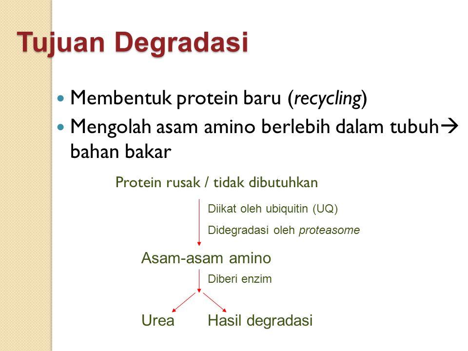 Tujuan Degradasi Membentuk protein baru (recycling) Mengolah asam amino berlebih dalam tubuh  bahan bakar Protein rusak / tidak dibutuhkan Diikat ole