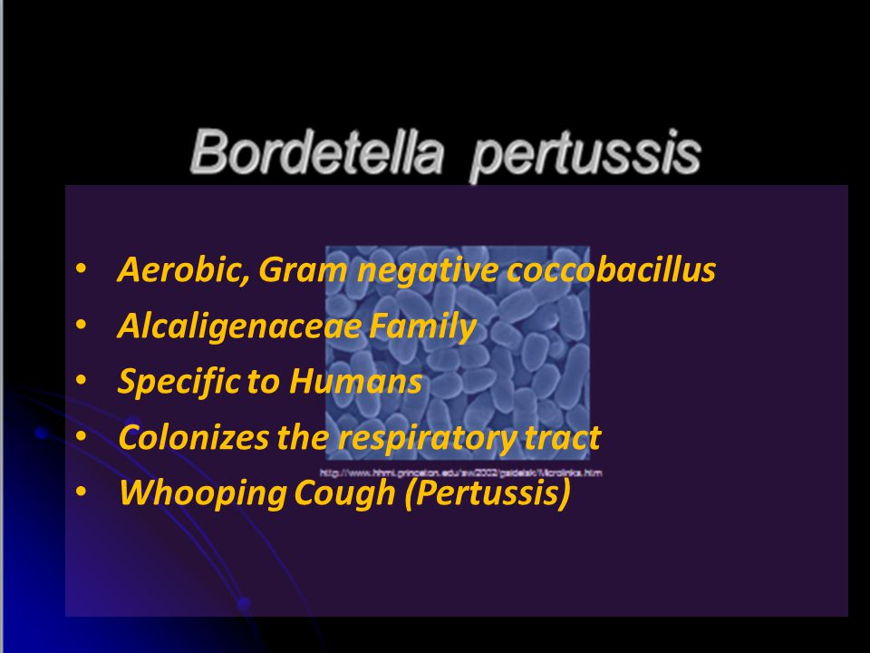 Aerobic, Gram negative coccobacillus Alcaligenaceae Family Specific to Humans Colonizes the respiratory tract Whooping Cough (Pertussis)