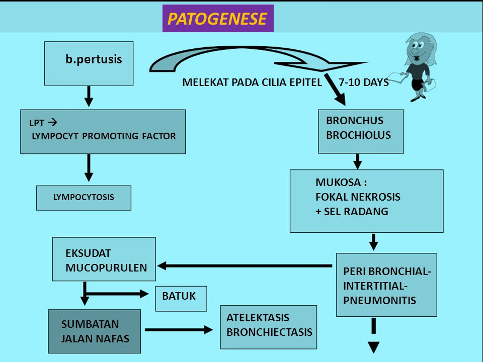 b.pertusis LPT  LYMPOCYT PROMOTING FACTOR LYMPOCYTOSIS MELEKAT PADA CILIA EPITEL 7-10 DAYS BRONCHUS BROCHIOLUS MUKOSA : FOKAL NEKROSIS + SEL RADANG P