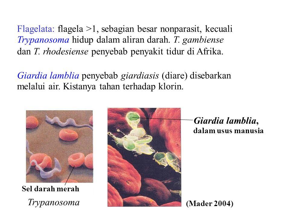 Trypanosoma Flagelata: flagela >1, sebagian besar nonparasit, kecuali Trypanosoma hidup dalam aliran darah. T. gambiense dan T. rhodesiense penyebab p