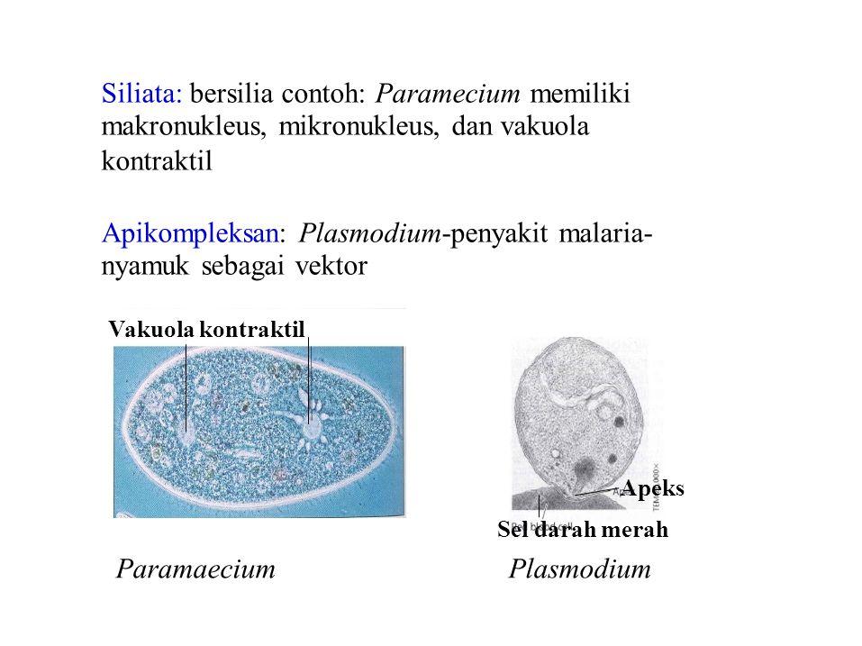 ParamaeciumPlasmodium Siliata: bersilia contoh: Paramecium memiliki makronukleus, mikronukleus, dan vakuola kontraktil Apikompleksan: Plasmodium-penya