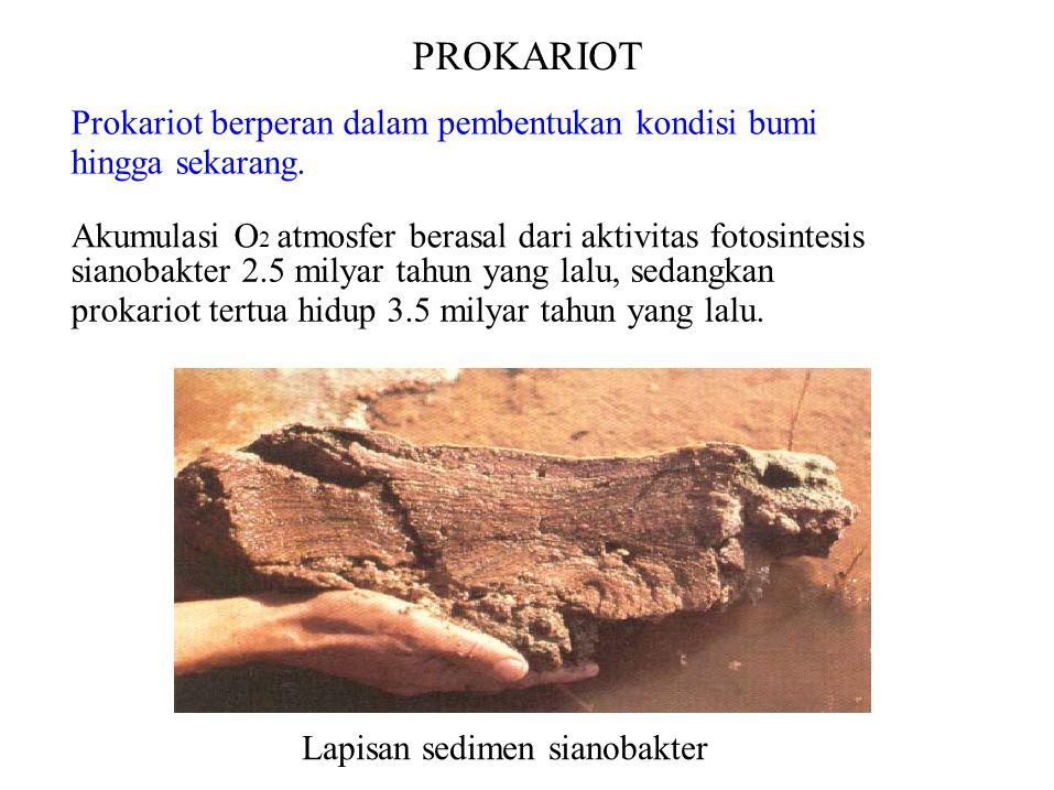 PROKARIOT Prokariot berperan dalam pembentukan kondisi bumi hingga sekarang. Akumulasi O 2 atmosfer berasal dari aktivitas fotosintesis sianobakter 2.