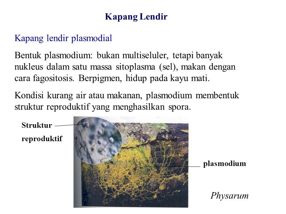Kapang Lendir Kapang lendir plasmodial Bentuk plasmodium: bukan multiseluler, tetapi banyak nukleus dalam satu massa sitoplasma (sel), makan dengan ca