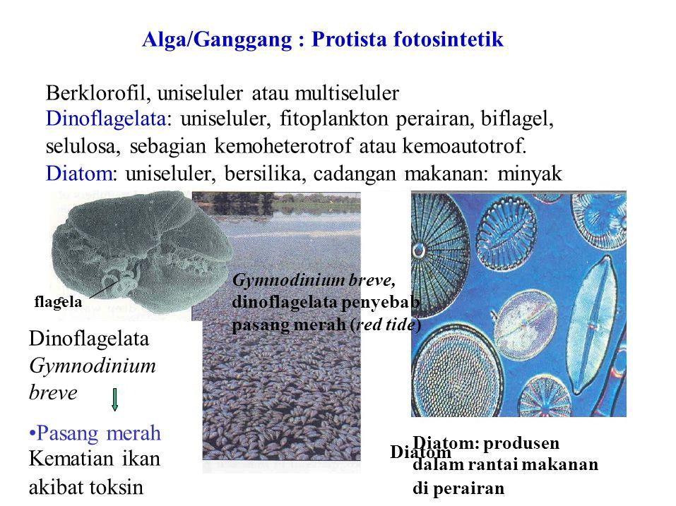 Diatom Alga/Ganggang : Protista fotosintetik Berklorofil, uniseluler atau multiseluler Dinoflagelata: uniseluler, fitoplankton perairan, biflagel, sel
