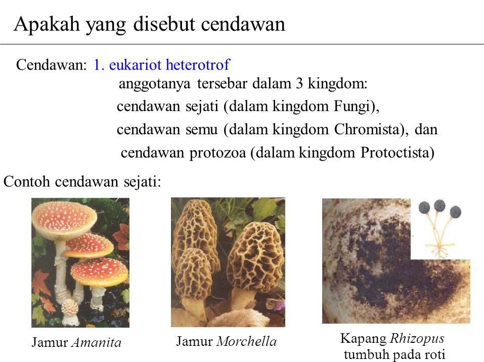 Contoh cendawan sejati: Jamur Amanita Jamur Morchella Kapang Rhizopus tumbuh pada roti Cendawan: 1. eukariot heterotrof anggotanya tersebar dalam 3 ki