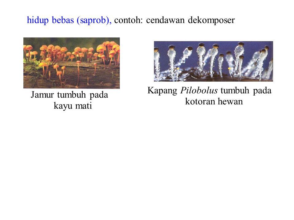 Kapang Pilobolus tumbuh pada kotoran hewan Jamur tumbuh pada kayu mati hidup bebas (saprob), contoh: cendawan dekomposer