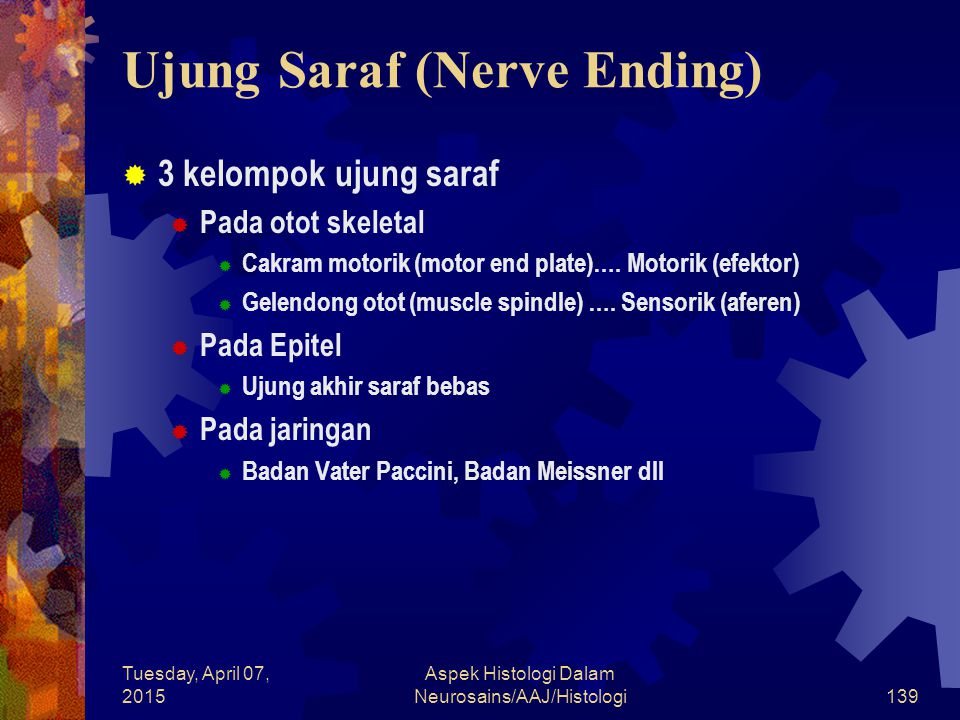 Tuesday, April 07, 2015 Aspek Histologi Dalam Neurosains/AAJ/Histologi139 Ujung Saraf (Nerve Ending)  3 kelompok ujung saraf  Pada otot skeletal  C