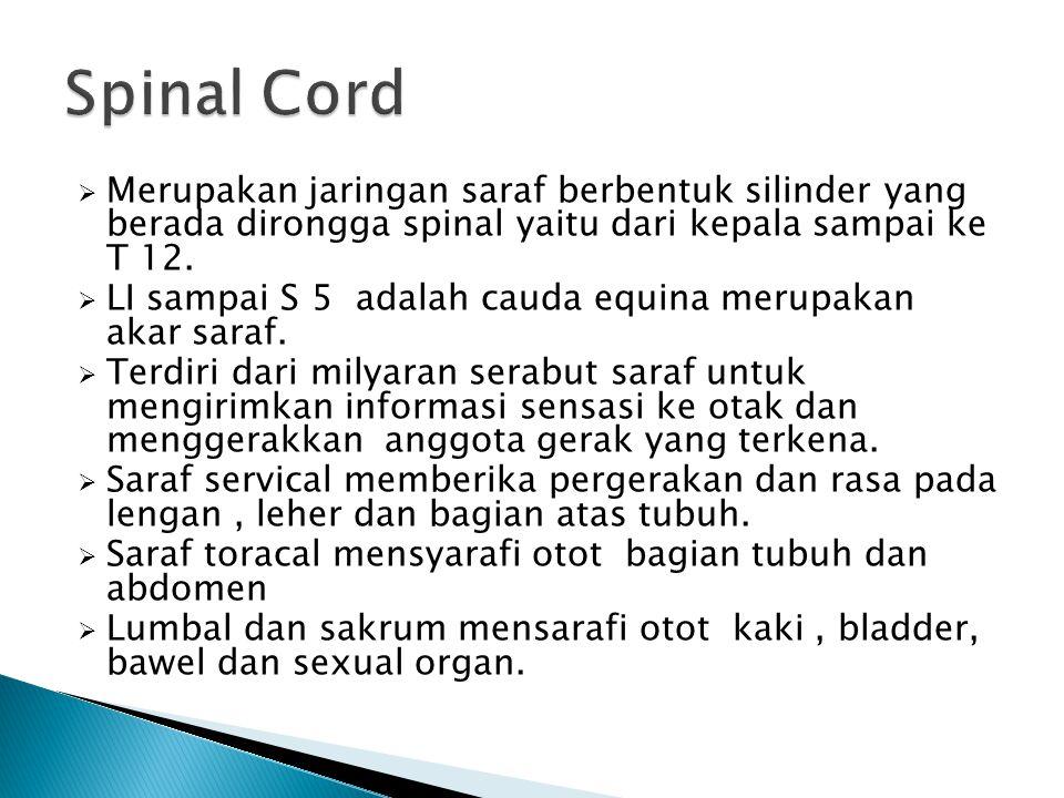 Spinal Cord  Merupakan jaringan saraf berbentuk silinder yang berada dirongga spinal yaitu dari kepala sampai ke T 12.  LI sampai S 5 adalah cauda e