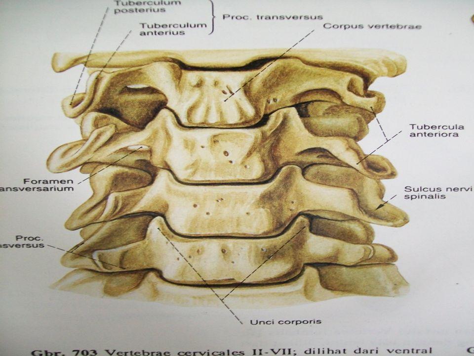 Myotome Myotome  C3,4 dan 5 mensarafi otot otot diapragma  C5 mensarafi otot shoulder dan fleksi elbow  C6 mensarafi fleksi wrist  C7 Extensi elbow  C8 fleksi jari  T1 merentangkan jari  T1-T 12 mensyarafi dinding dada dan otot abdomen  L2 Fleksi HIP  L3 Knee ekstensi  L4 Otot betis  L5 Mengerakkan jempol kaki  S1 Plantar fleksi  S2,3,4 dan 5 mensarafi bladder, bowel dan organ sex dan otot pelvic.
