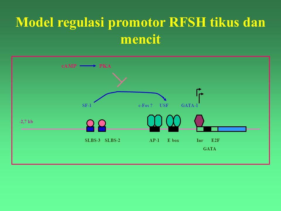 ATG SLBS-3 SLBS-2 AP-1 E box Inr E2F GATA -2,7 kb SF-1 c-Fos ? USF GATA-1 cAMP PKA Model regulasi promotor RFSH tikus dan mencit
