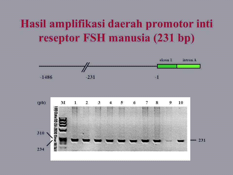 Hasil amplifikasi daerah promotor inti reseptor FSH manusia (231 bp) -1486 -231 -1 231 310 234 (pb) M 1 2 3 4 5 6 7 8 9 10 ekson 1 intron A