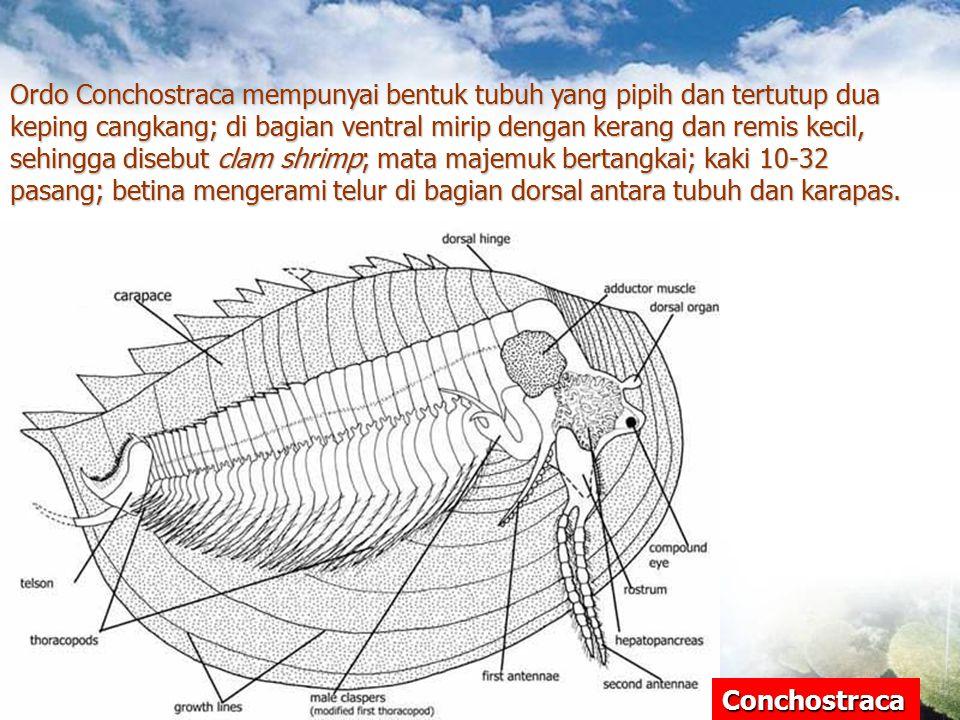 Conchostraca Ordo Conchostraca mempunyai bentuk tubuh yang pipih dan tertutup dua keping cangkang; di bagian ventral mirip dengan kerang dan remis kec