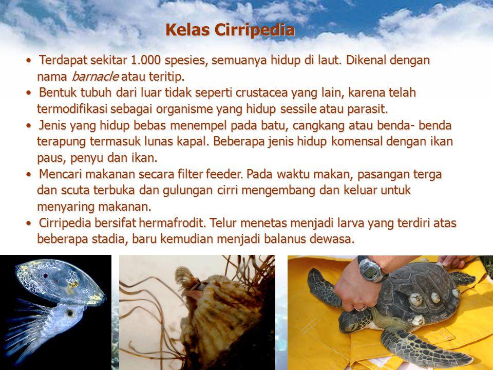 Kelas Cirripedia Terdapat sekitar 1.000 spesies, semuanya hidup di laut. Dikenal dengan Terdapat sekitar 1.000 spesies, semuanya hidup di laut. Dikena