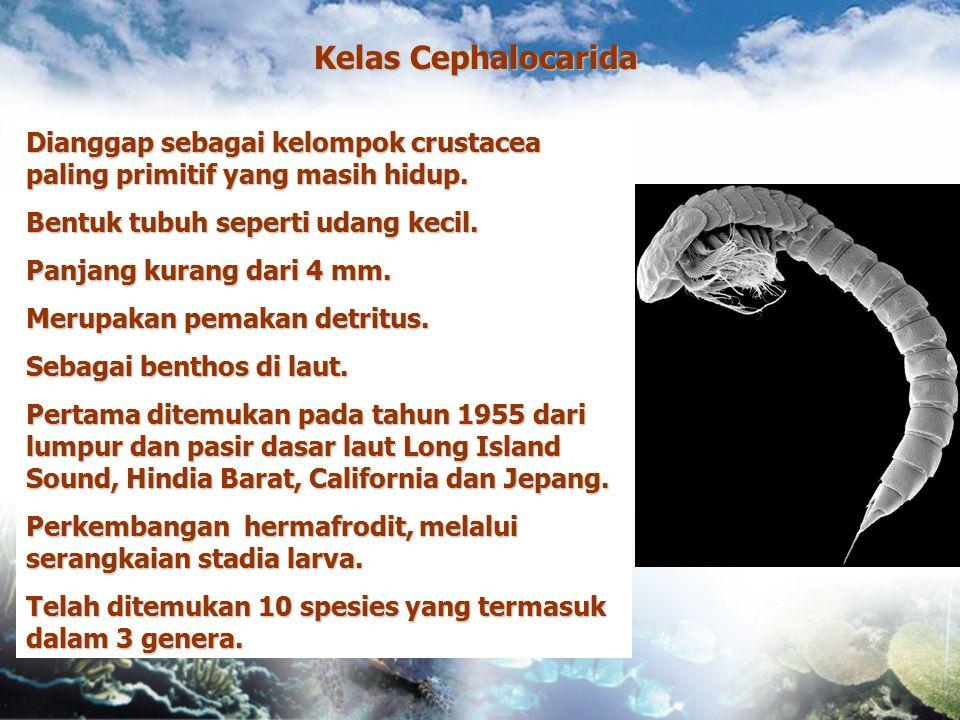Kelas Cephalocarida Dianggap sebagai kelompok crustacea paling primitif yang masih hidup. Bentuk tubuh seperti udang kecil. Panjang kurang dari 4 mm.