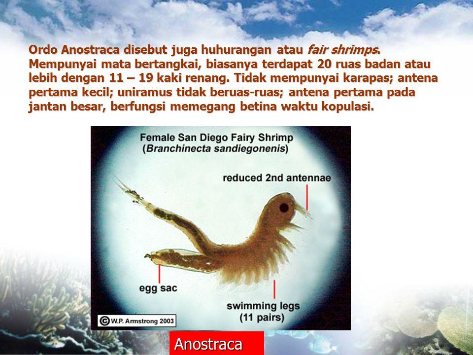 Ordo Anostraca disebut juga huhurangan atau fair shrimps. Mempunyai mata bertangkai, biasanya terdapat 20 ruas badan atau lebih dengan 11 – 19 kaki re