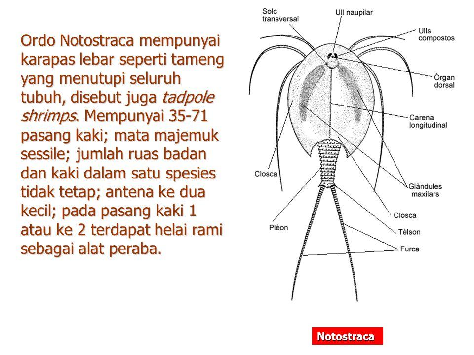 Ordo Notostraca mempunyai karapas lebar seperti tameng yang menutupi seluruh tubuh, disebut juga tadpole shrimps. Mempunyai 35-71 pasang kaki; mata ma