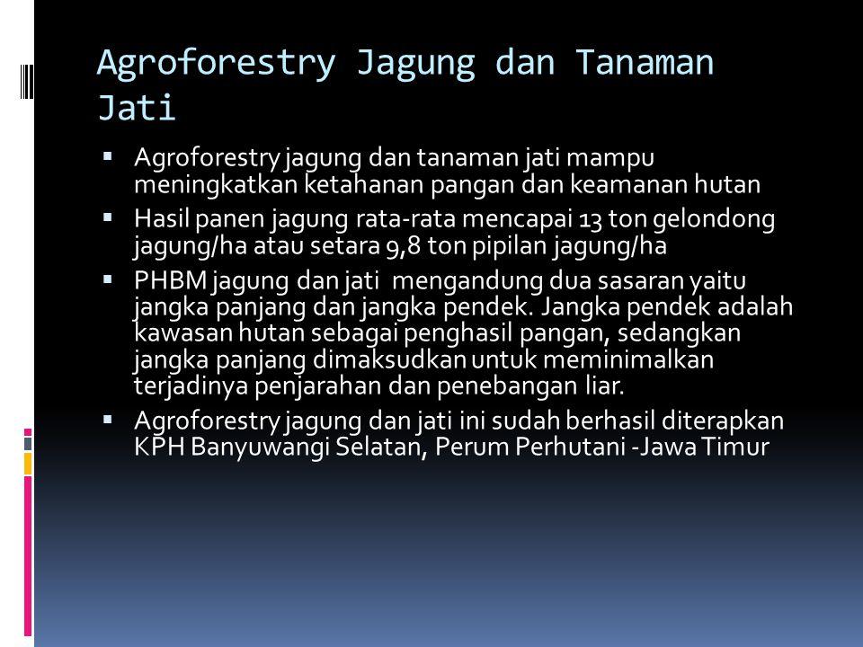 Agroforestry Jagung dan Tanaman Jati  Agroforestry jagung dan tanaman jati mampu meningkatkan ketahanan pangan dan keamanan hutan  Hasil panen jagung rata-rata mencapai 13 ton gelondong jagung/ha atau setara 9,8 ton pipilan jagung/ha  PHBM jagung dan jati mengandung dua sasaran yaitu jangka panjang dan jangka pendek.