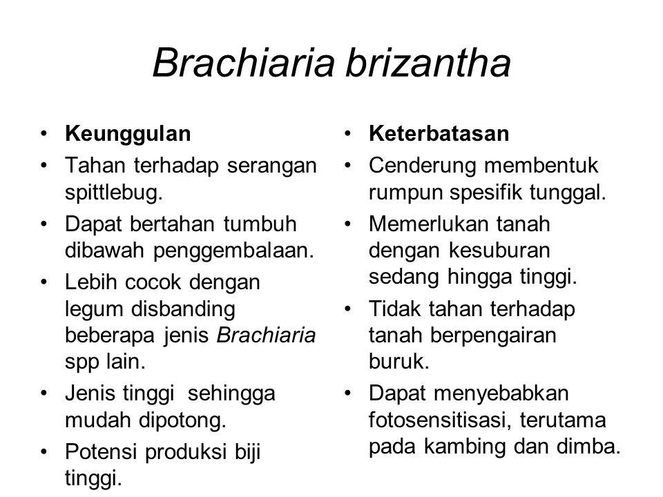 Brachiaria brizantha Keunggulan Tahan terhadap serangan spittlebug. Dapat bertahan tumbuh dibawah penggembalaan. Lebih cocok dengan legum disbanding b