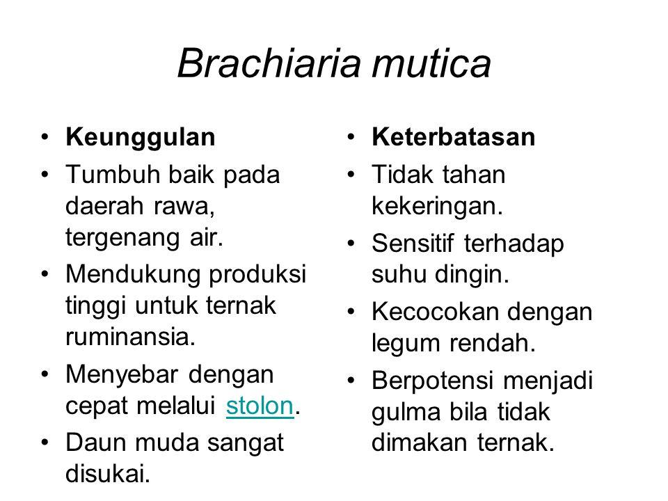 Brachiaria mutica Keunggulan Tumbuh baik pada daerah rawa, tergenang air. Mendukung produksi tinggi untuk ternak ruminansia. Menyebar dengan cepat mel