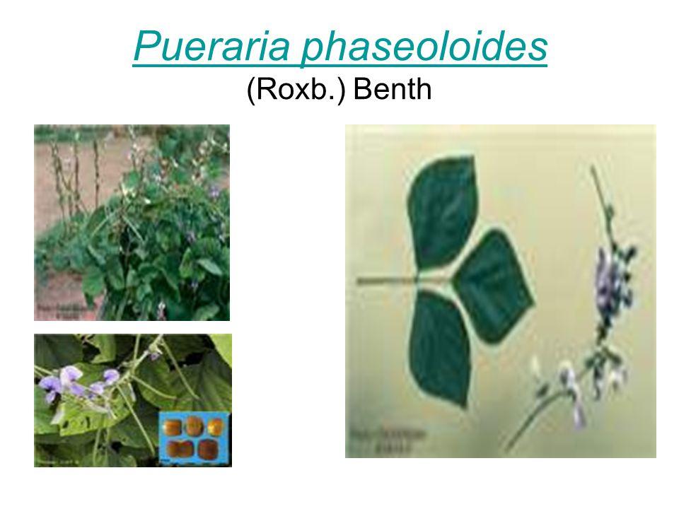 Pueraria phaseoloides Pueraria phaseoloides (Roxb.) Benth